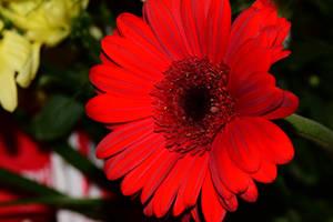 Red Flower by sockhiddenunderarook