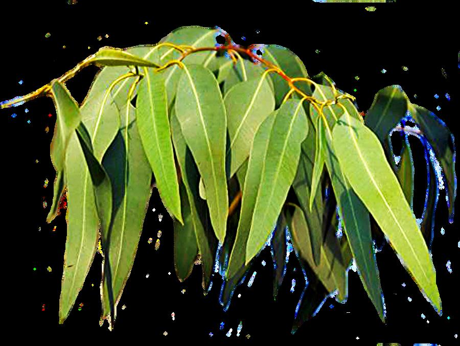 Gum Tree Leaves 3 By Lilipilyspirit On Deviantart