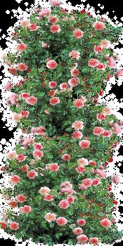 Anne Boleyn Climbing Rose by LilipilySpirit