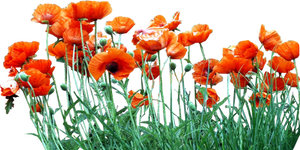 Bed of Orange Poppies
