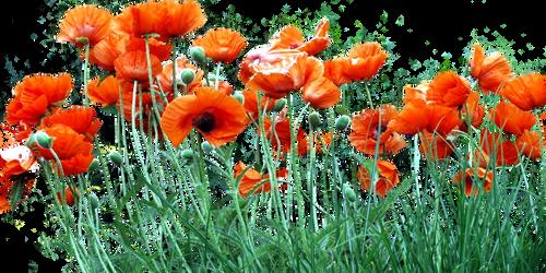 Bed of Orange Poppies by LilipilySpirit