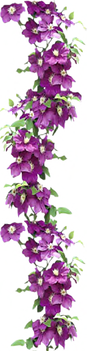 Clematis Lady Betty Balfour by LilipilySpirit