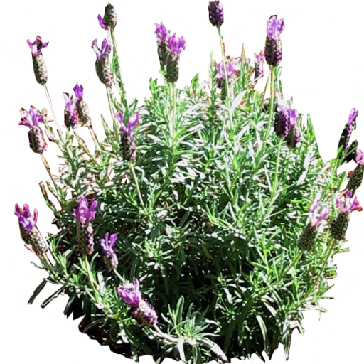 French Lavender by LilipilySpirit
