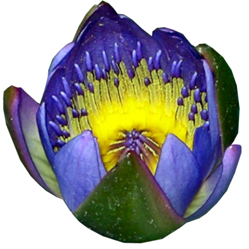Half open blue water lily by LilipilySpirit