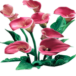 Pink Persuasion Calla Lilies