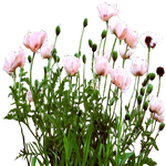 Pink Poppy bed