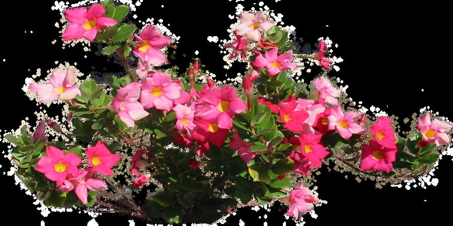 Pink Allamandra