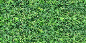 Lush lawn grass with chickweed and dry leaves