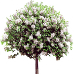 Mauve lilac shrub