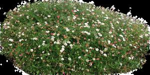 Miniature seaside daisy shrub