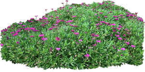 Purple seaside daisy shrub