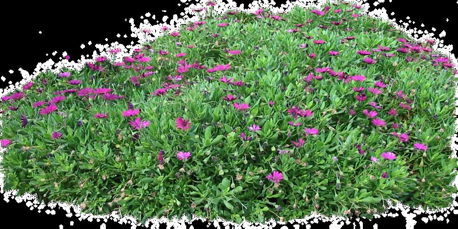 Flower Shrubs Png Shrub Png Purple Seaside Daisy