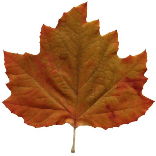 Autumn Brown Liquid Amber Leaf