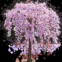 Pink Weeping Cherry Tree in Bloom by LilipilySpirit