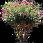 Pink Laurel Shrub