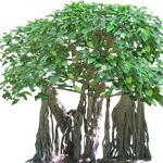 Tropical Fig Tree with Aerial Roots