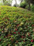 Red Tufted Hillside