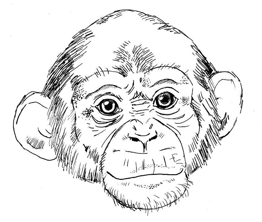 Line Drawing Of Monkey Face : Random chimp by drchrissy on deviantart