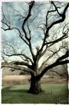 The Bedford Oak