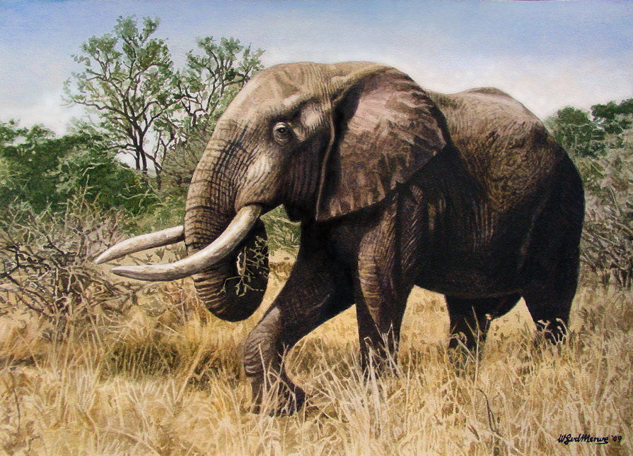 African Forest Elephant Drawing