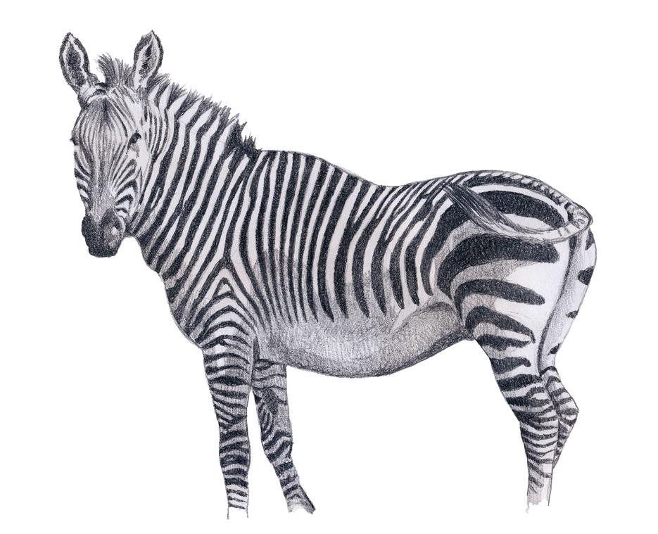 Zebra Drawing Zebra Pencil Drawings