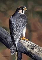 Lanner Falcon by WillemSvdMerwe