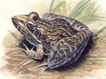 Sharpnosed Grass Frog
