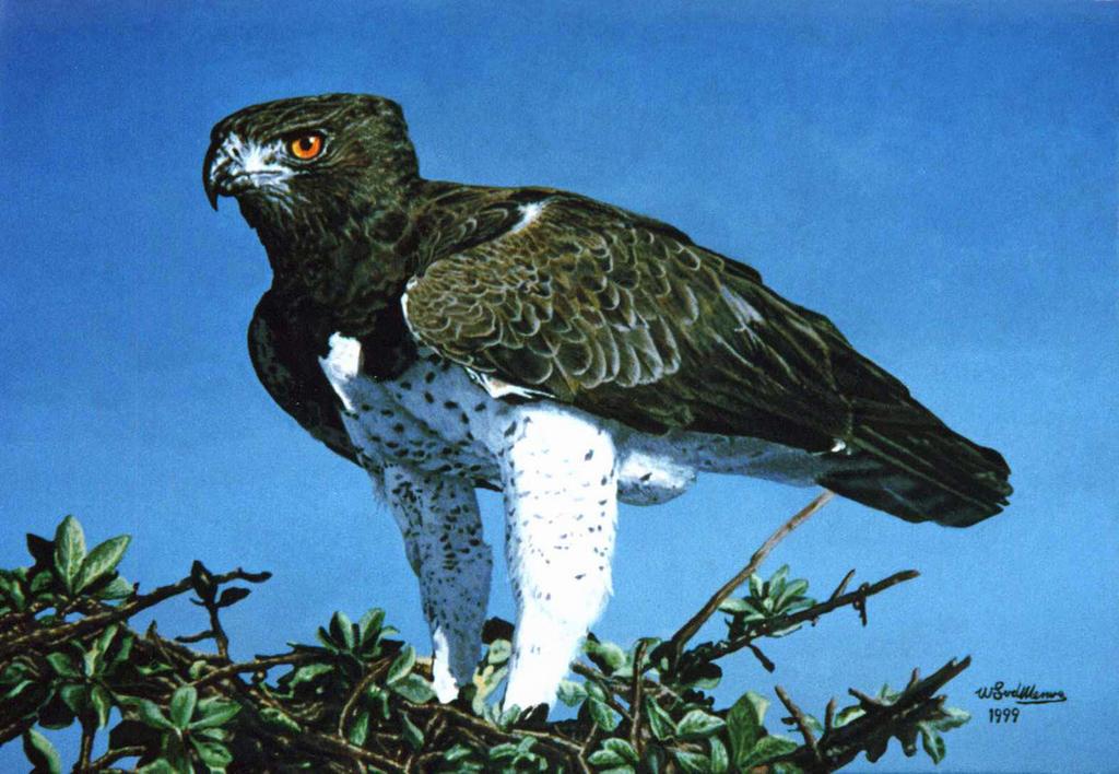 Martial Eagle 2 by WillemSvdMerwe on DeviantArt