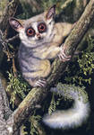 South African Bushbaby