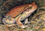 African Red Toad