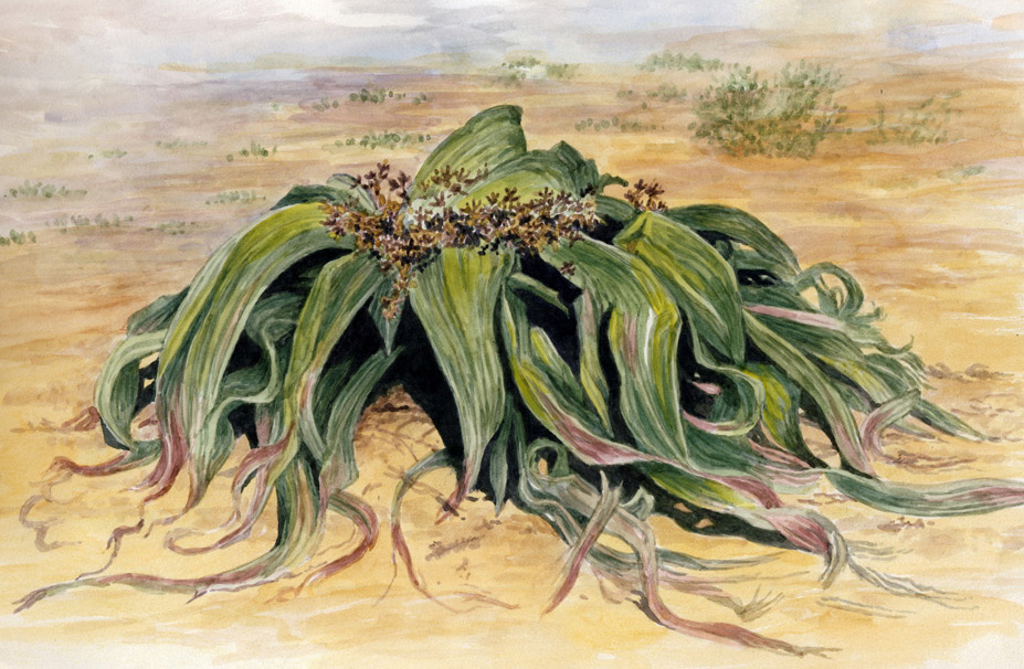 Hasil gambar untuk Welwitschia mirabilis