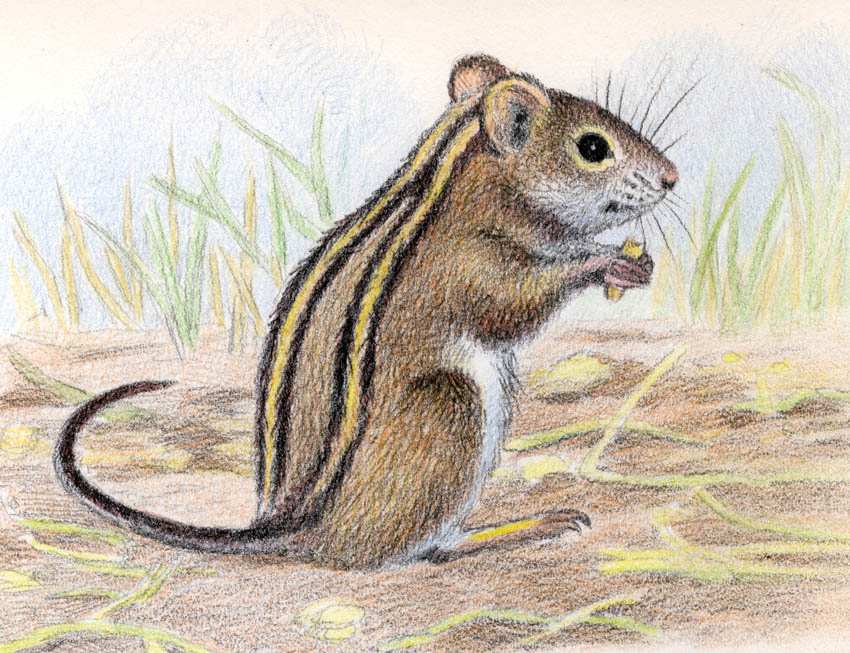 Four-striped Grass Mouse by WillemSvdMerwe