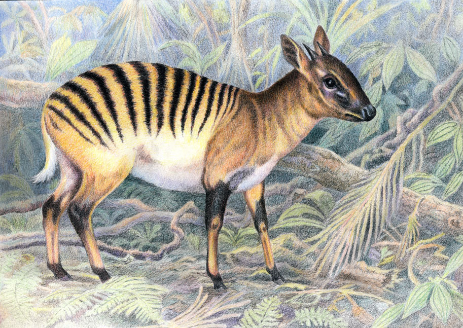 Coloring Pages For Zebra : Duiker zebra coloring pages