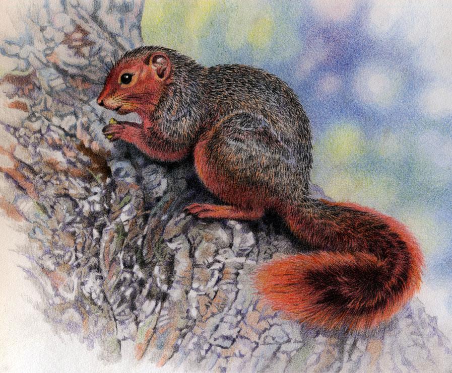 Red Bush Squirrel by WillemSvdMerwe