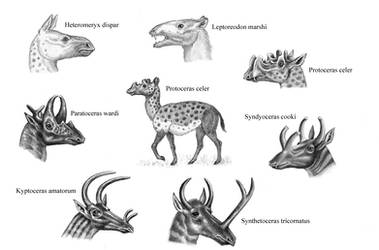 Protoceratids