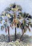Northern Lala Palms by WillemSvdMerwe