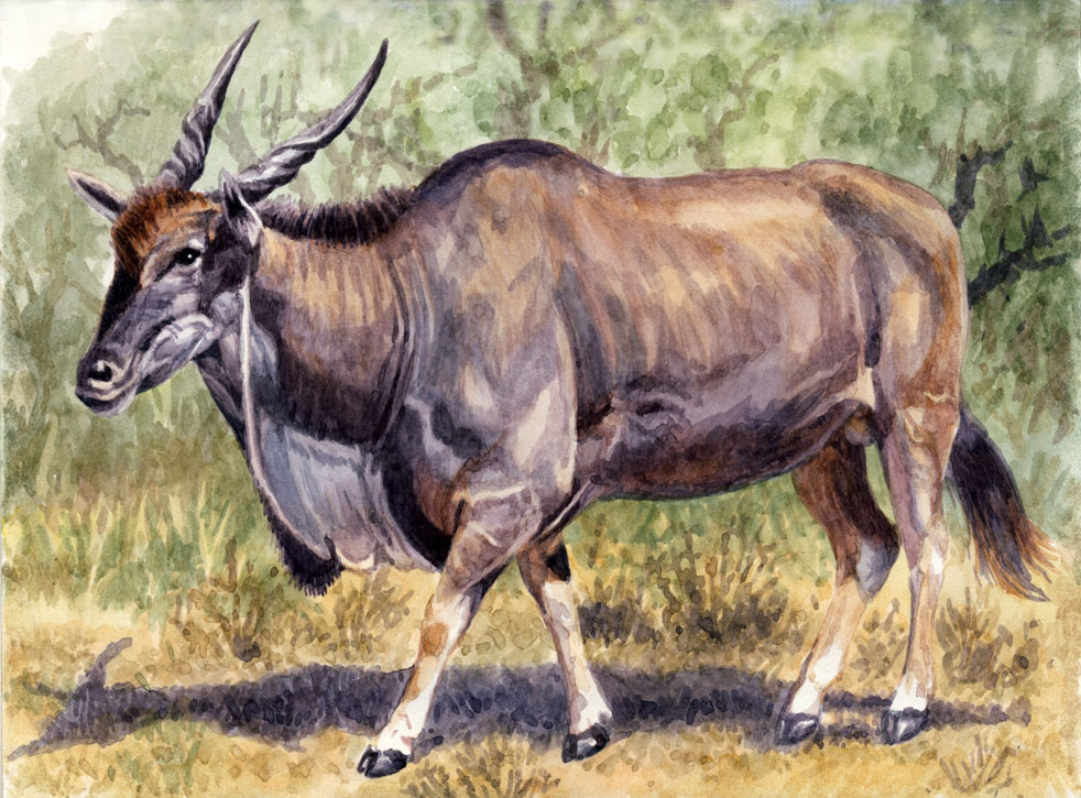 how to draw a kudu