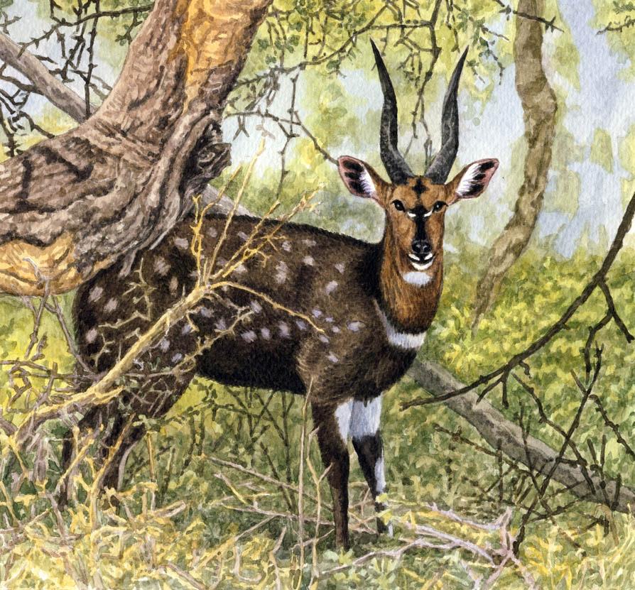 Bushbuck Ram by WillemSvdMerwe