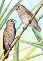 Long-tailed Widowbird Off-season by WillemSvdMerwe