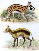 Propachyrucos and Cainotherium