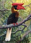 Great Phillipine Hornbill