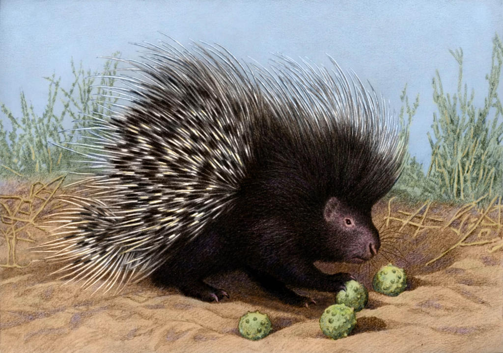 South African Porcupine by WillemSvdMerwe