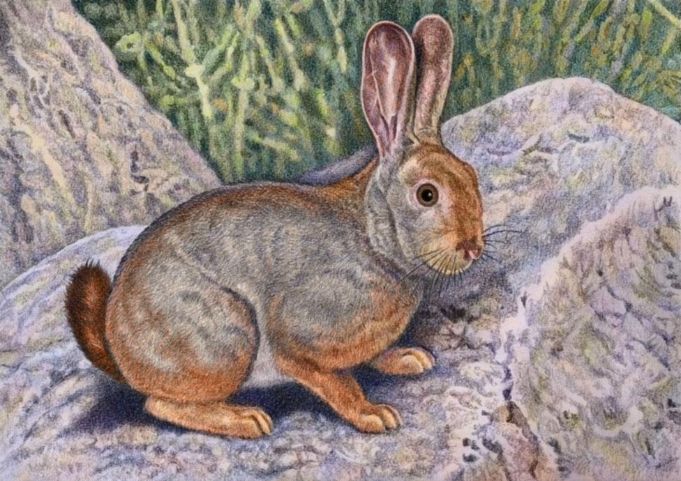 Red Rock Rabbit by WillemSvdMerwe