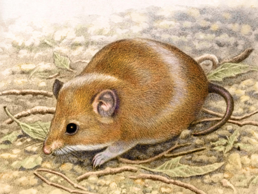 Fat Mouse by WillemSvdMerwe