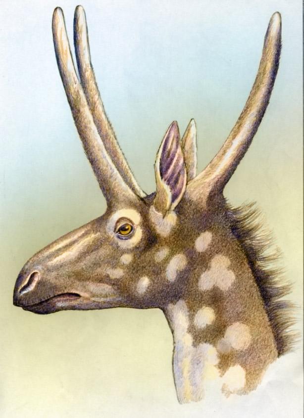 Pediomeryx/Yumaceras by WillemSvdMerwe