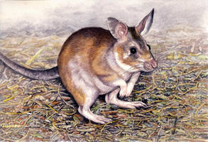 Malagasy Giant Jumping Rat
