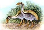 Aptornis defossor, South Island Adzebill