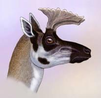 Merriamoceros coronatus by WillemSvdMerwe