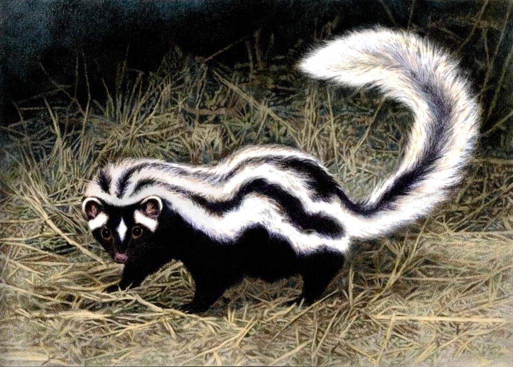 striped polecat by willemsvdmerwe on deviantart weasel clipart free weasel clipart free