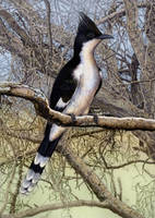 Jacobin Cuckoo by WillemSvdMerwe
